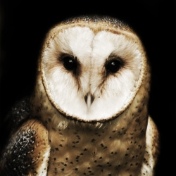BarnOwl-Portrait